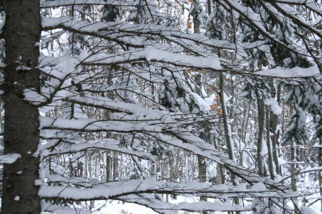 When tender falling snow blankets branches