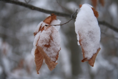 Brown oak leaves dusted with snow