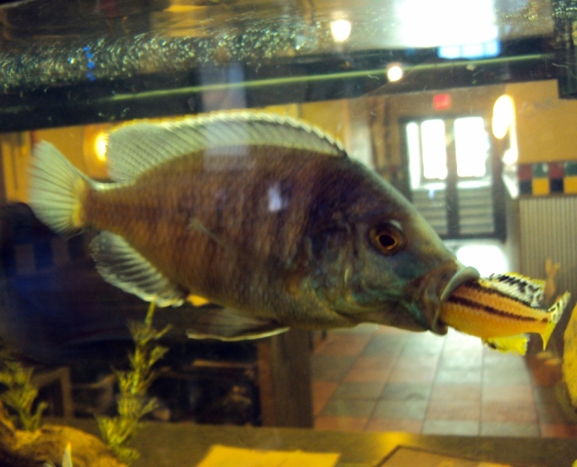 The day a fish ate another fish at Joey's back in 2010.