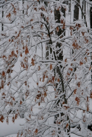 Oak leaves covered with snow