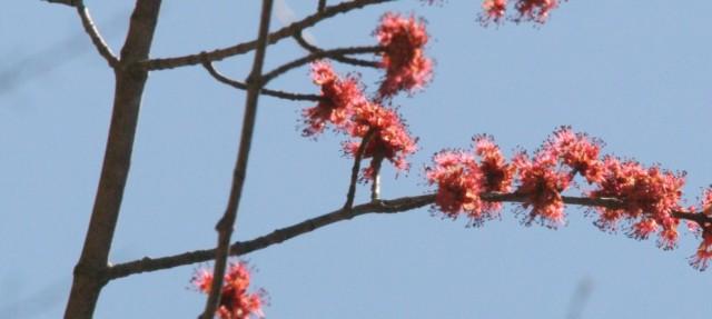 Bursting maple buds