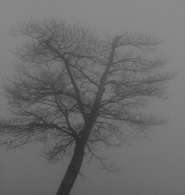 Lone tree in fog