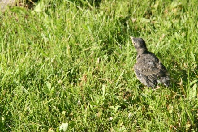 Run away, baby robin