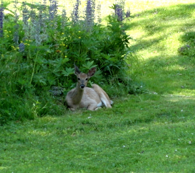 Deer lounging in the lupines
