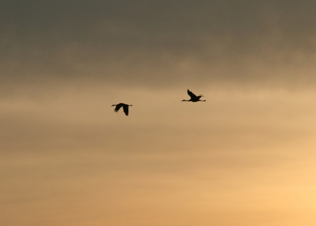 Beating wings of geese over Lake Superior