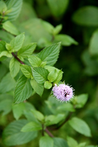 Sweet-smelling spearmint