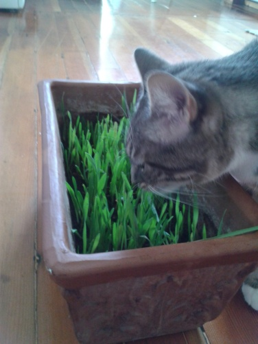 Mango eating some fancy grass made just for kitty cats