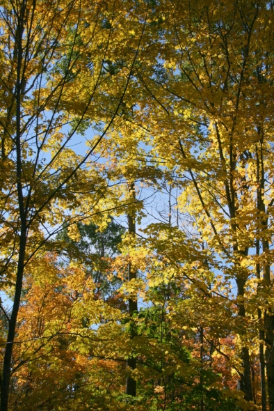 When trees dress in yellow...
