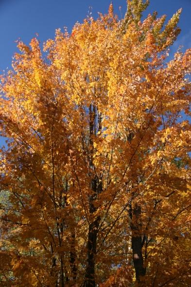 When a tree dresses in orange