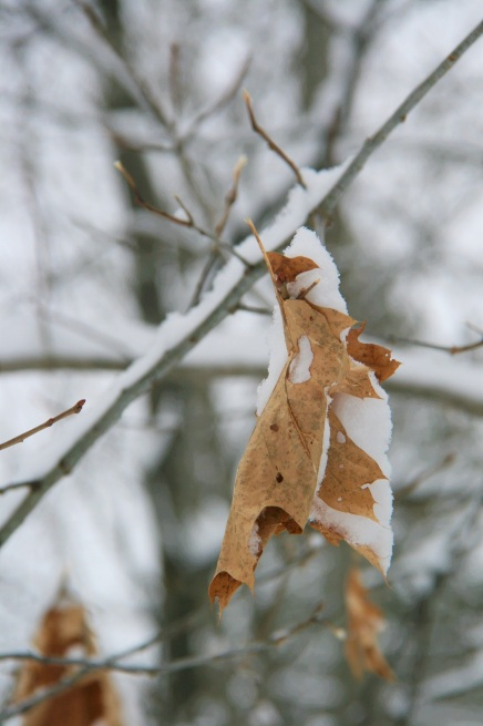 Oak leaf cradling snow