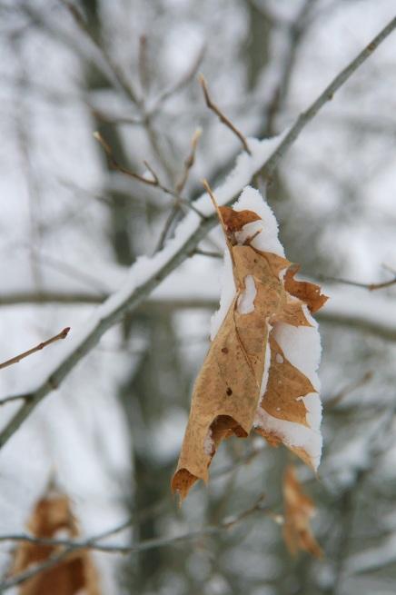 Oak leaf cradling snow