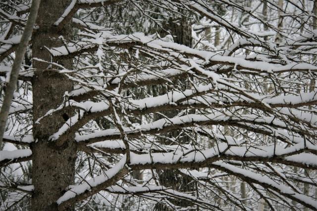 Sideways snowy spruce branches