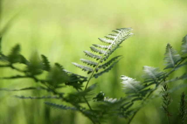 Growing fern